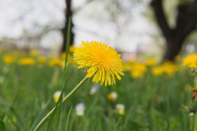 在域的花 野生生物在一个晴天 花卉生长在绿草和给喜悦所有 免版税库存图片