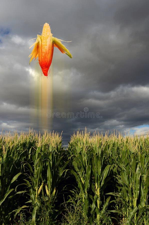 在域的飞行玉米 免版税库存照片