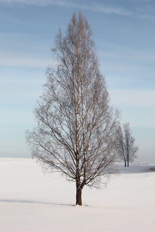 在域的Winter.Lonely桦树。 库存照片