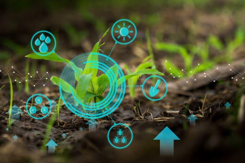 在培养的农业农田的年轻玉米幼木与现代技术概念 库存图片