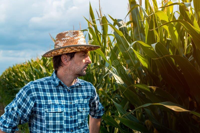 在培养的领域的严肃的玉米农夫画象 库存照片