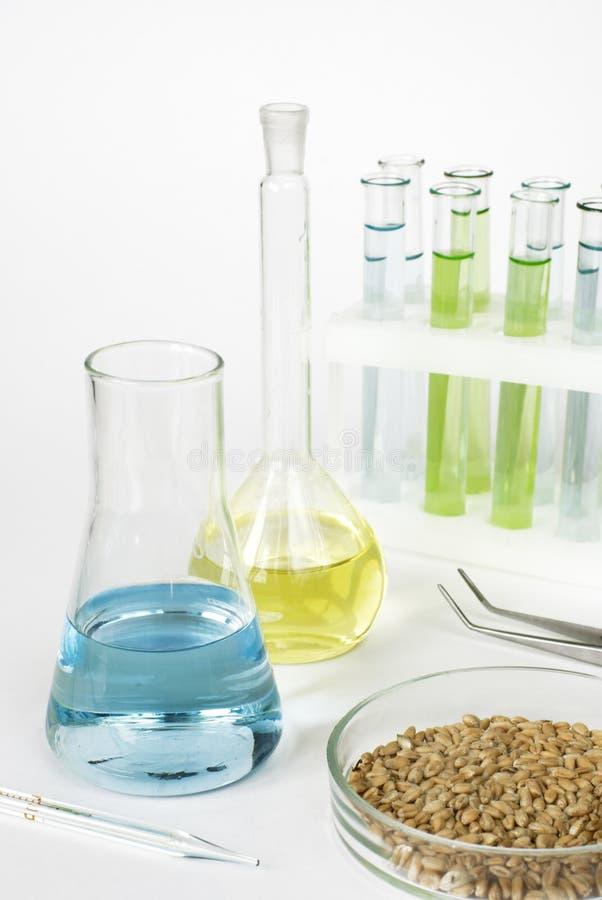 在培养皿和实验室玻璃器皿的麦子 免版税库存图片