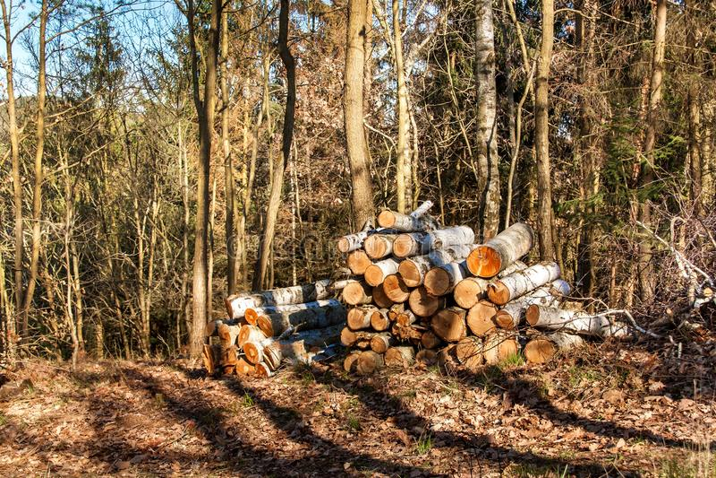 在堆的切开桦树在森林砍伐树的森林工作 木柴 春天晚上在森林里 库存图片