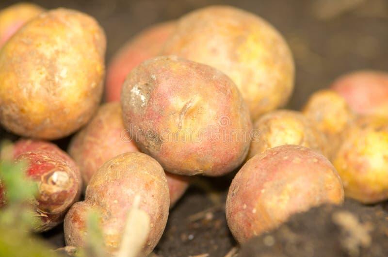 在堆的土豆在土壤 免版税库存图片