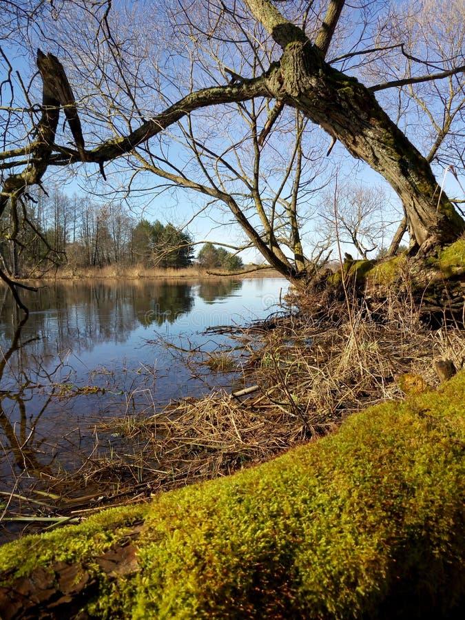 在堆的老树Neman河期间在春天 库存图片