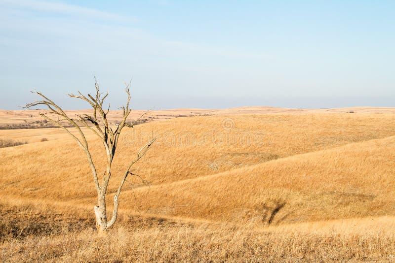 在堪萨斯火石小山的孤立树  免版税库存图片