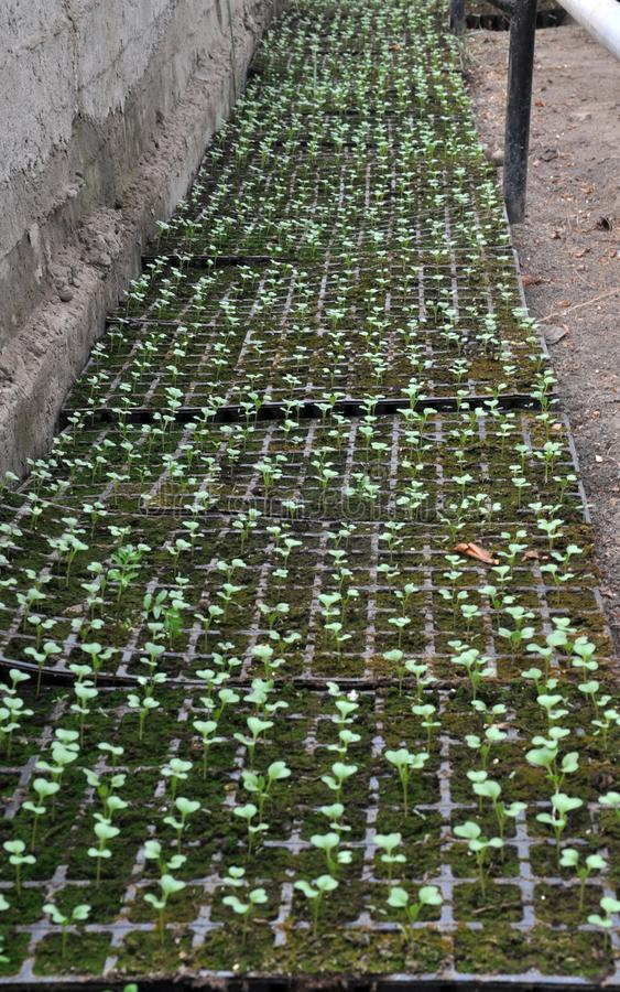在塑料卡式磁带的增长的圆白菜幼木 库存照片