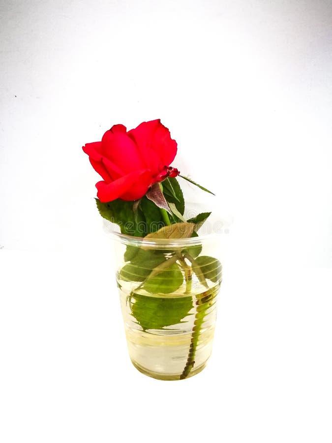 在塑料杯子的红色玫瑰色花用在白色背景隔绝的水 库存照片