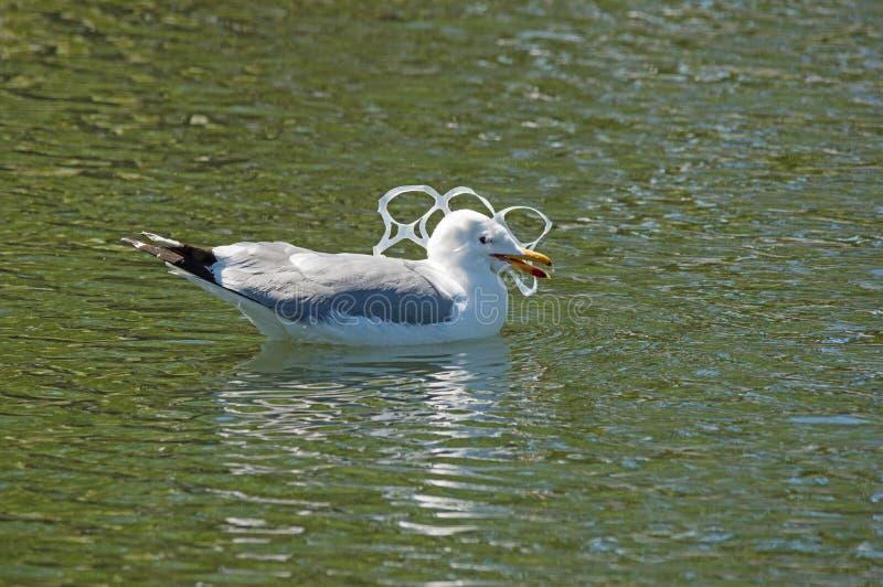 在塑料污染捉住的鸥 免版税图库摄影