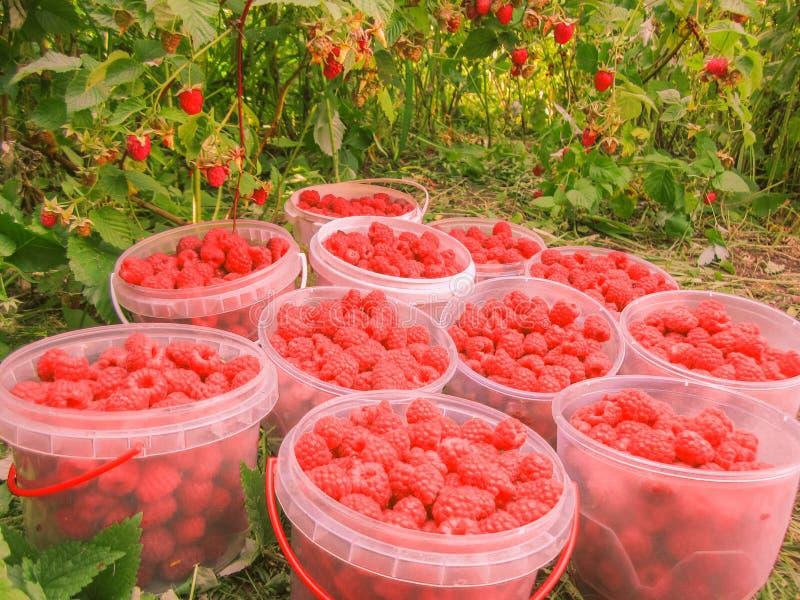 在塑料盒的新近地被采摘的莓特写镜头在复盆子灌木丛背景,水平的照片,照片在vicinit采取了 免版税库存照片