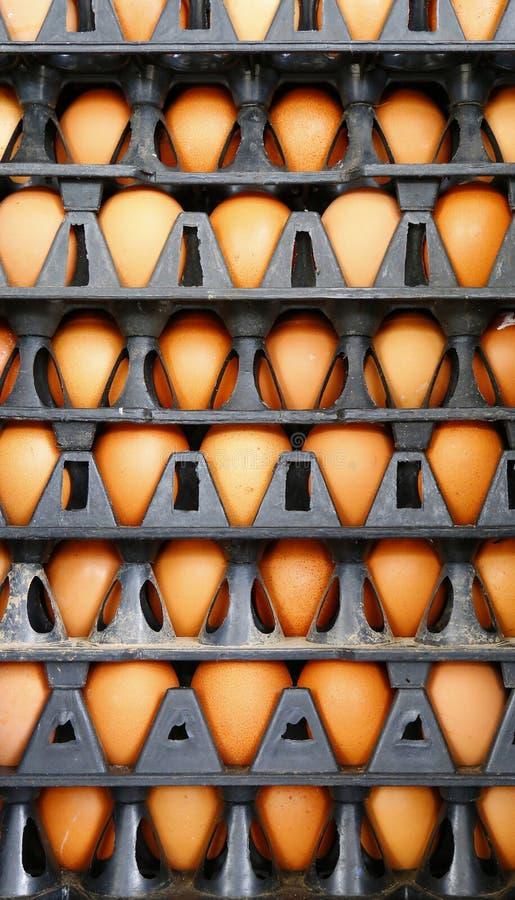 在塑料盘区鸡蛋的鸡鸡蛋 库存图片