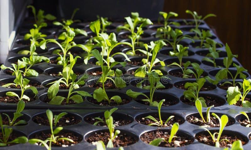 在塑料罐,有机生长菜的年轻新鲜的幼木 免版税库存照片