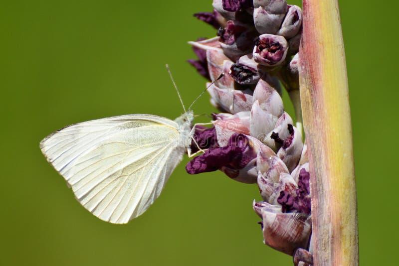 在塔利亚的一只白色蝴蝶 库存照片
