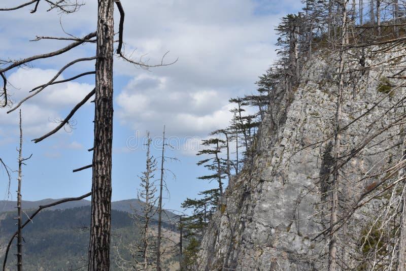 在塔拉峡谷,最深的欧洲峡谷的黑松树 免版税库存照片