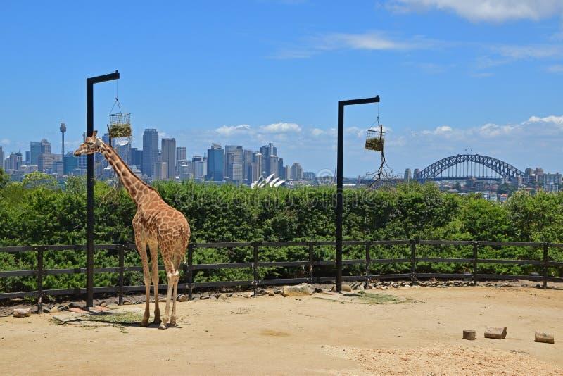 在塔朗加动物园吃从垂悬的篮子的长颈鹿食物有悉尼宏伟的视图  免版税图库摄影