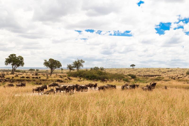在塞伦盖蒂平原的巨大迁移 马塞语玛拉,非洲 免版税库存图片