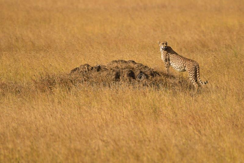 在塞伦盖蒂平原的猎豹 库存照片