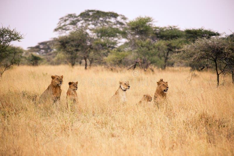 在塞伦盖蒂的狮子家庭 库存图片