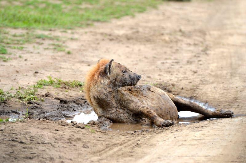 在塞伦盖蒂的鬣狗 免版税库存图片