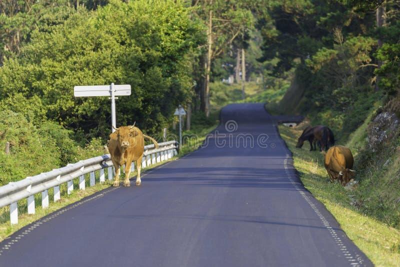 在塞德拉La拉科鲁尼亚队,西班牙的母牛 库存照片