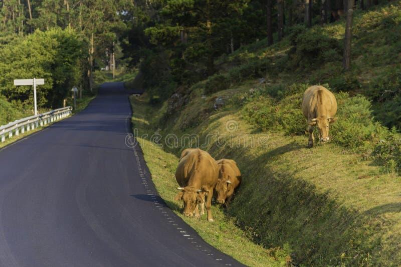 在塞德拉La拉科鲁尼亚队,西班牙的母牛 免版税库存照片