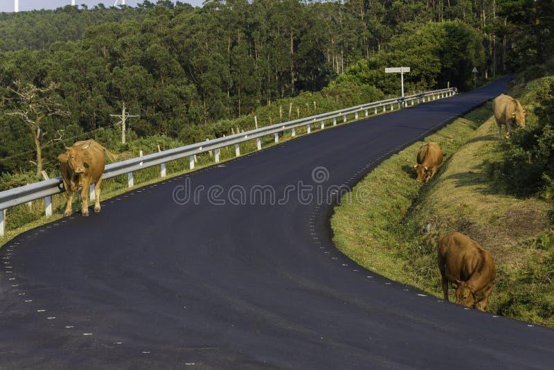 在塞德拉La拉科鲁尼亚队,西班牙的母牛 库存图片