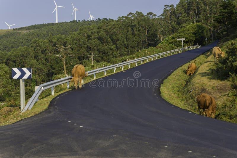 在塞德拉La拉科鲁尼亚队,西班牙的母牛 免版税库存图片