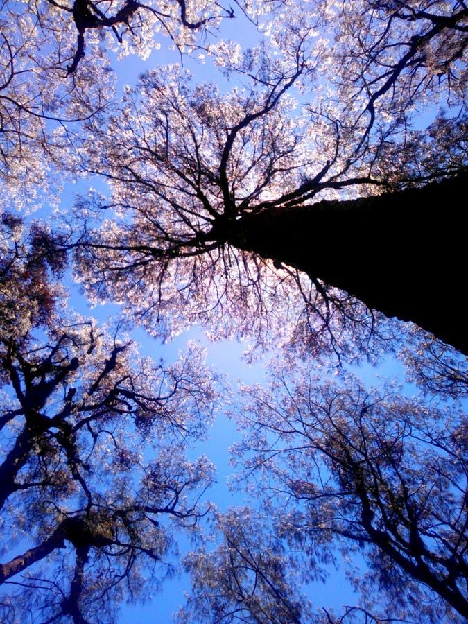 在塞梅鲁火山山的木麻黄属的各种常绿乔木树 免版税库存图片