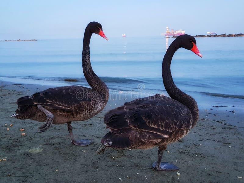 在塞浦路斯的黑天鹅夫妇 库存图片