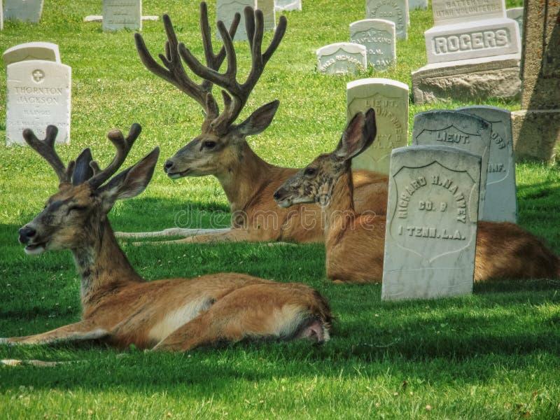 在墓石旁边的鹿位置在城市公墓 免版税库存图片