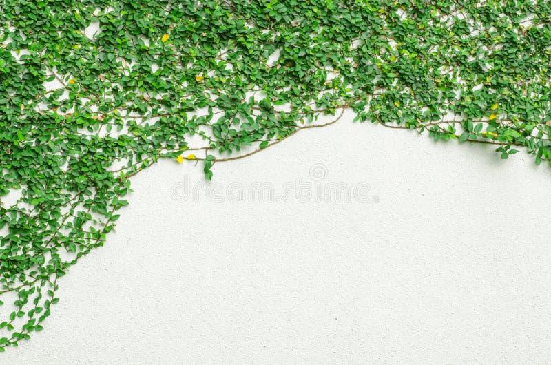 在墙壁上的常春藤叶子 图库摄影