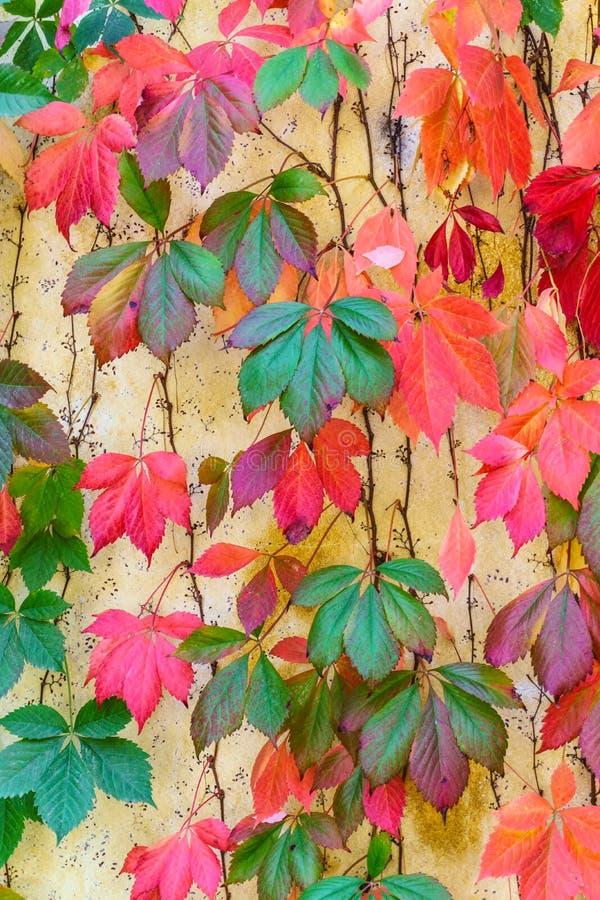 在墙壁上的惊人的秋天颜色在纳帕谷 免版税库存图片