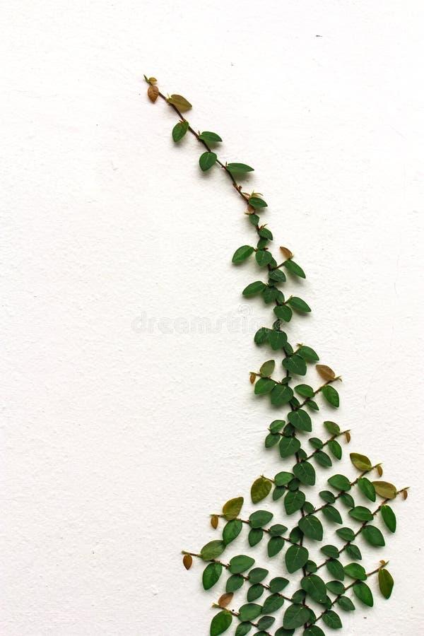 在墙壁上的榕属pumila 图库摄影
