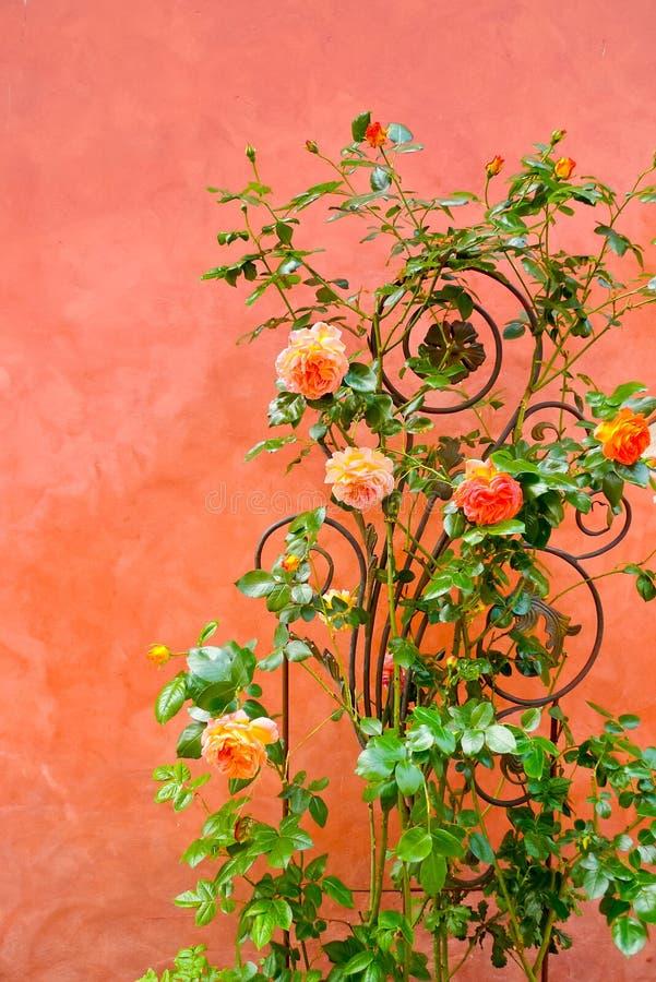 在墙壁上的玫瑰 库存图片