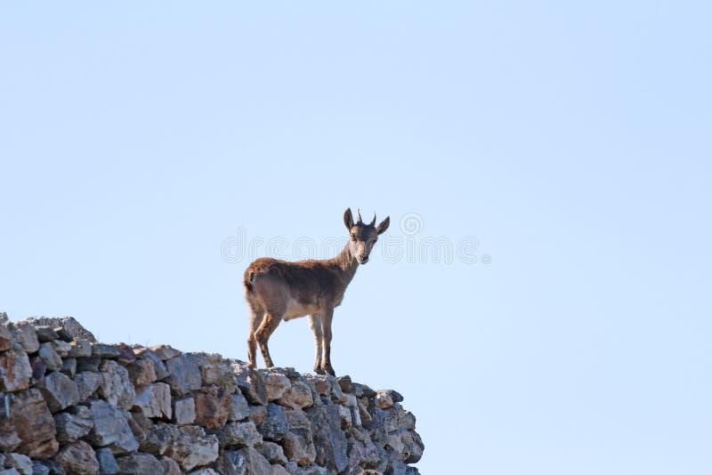 在墙壁上的石山羊,西班牙 免版税库存照片