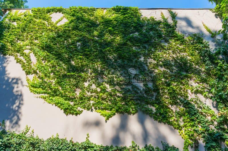 在墙壁上缠结的藤 免版税图库摄影