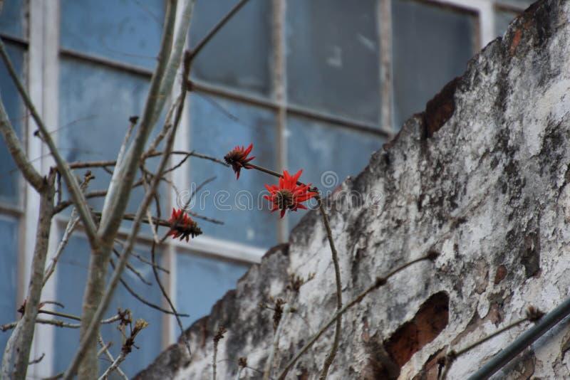 在墙壁前面的开花的珊瑚树 库存图片
