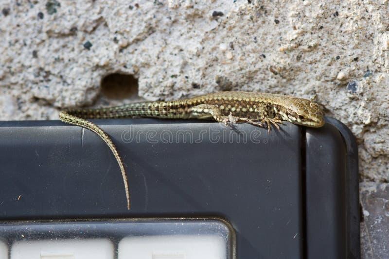 在墙壁电话的蜥蜴 库存照片