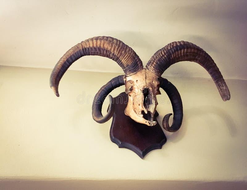 在墙壁登上的高地山羊头骨 库存照片