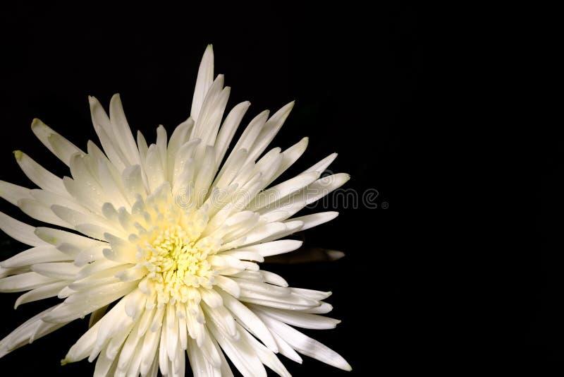 在壮观的白色菊花的顶视图在一黑backgroun 库存图片