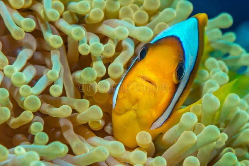 在壮观的银莲花属的红海anemonefish 免版税库存图片