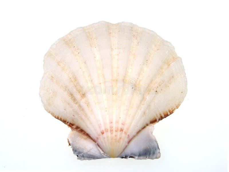 在壳白色的一半 库存图片