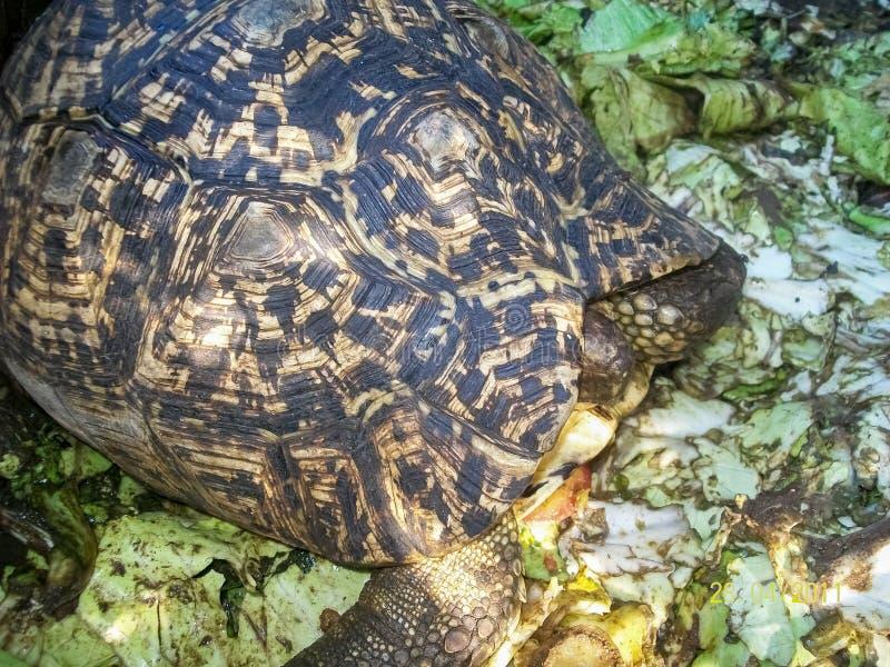 在壳的乌龟 库存照片