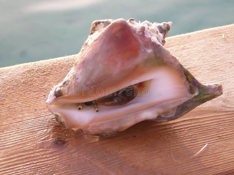 在壳的螃蟹 免版税库存图片