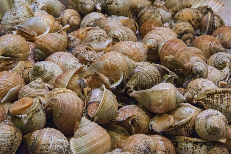 在壳的resh峨螺 免版税库存图片