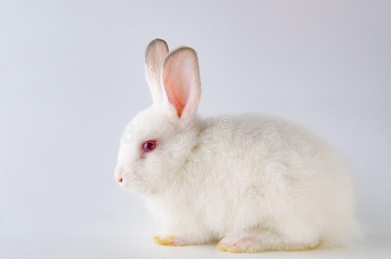 在复活节作文动物的兔子概念仿写小白色的乌龟图片