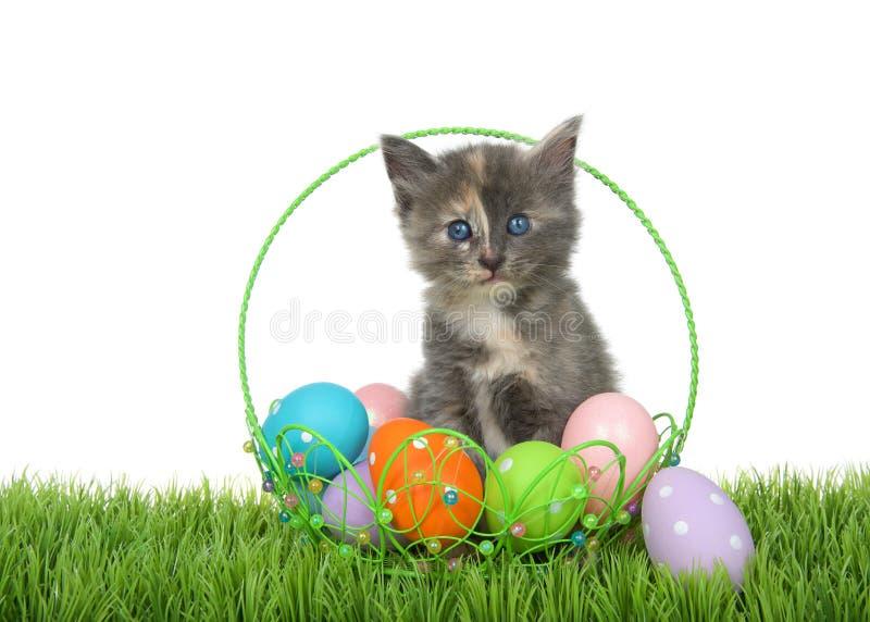 在复活节篮子的被稀释的tortie小猫在草 库存图片