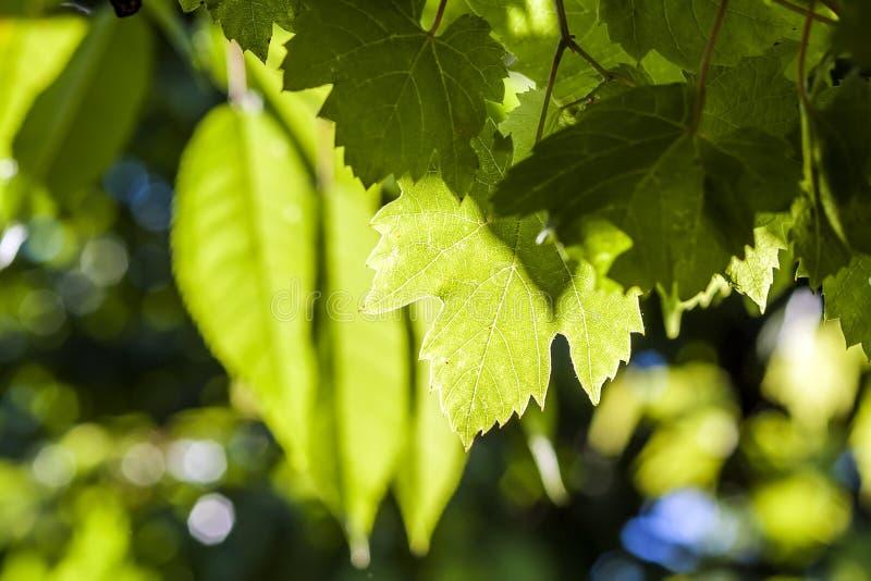 在夏天关闭的绿色藤葡萄叶子 库存图片