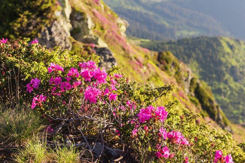 在夏天喀尔巴阡山脉的桃红色杜鹃花花 免版税库存图片