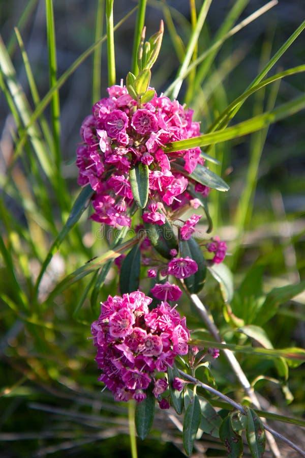 在夏天垂直的狭叶山月桂桃红色花 库存照片